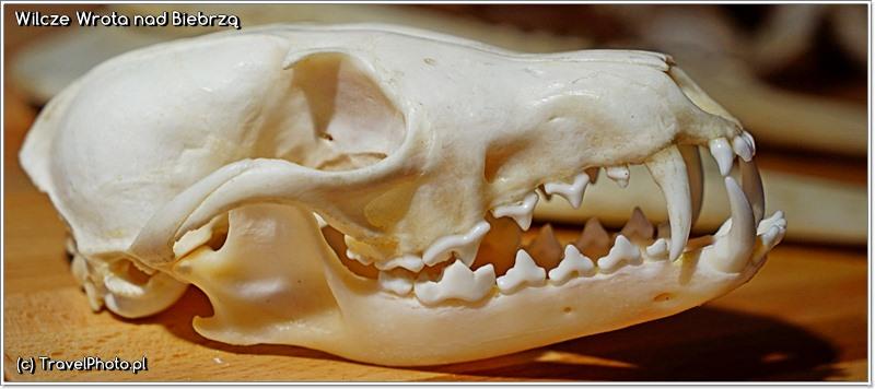 Ciekawe czy wiecie czyja to czaszka z tak strasznymi zębami? Nie jest to czaszka wilka!